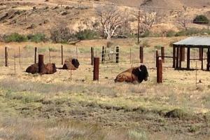 bison_061315